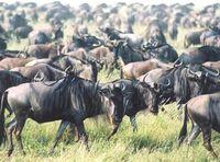 11.08.02 wildebeest migration
